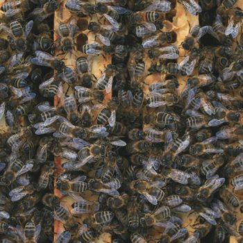 Parrainage 1 demi ruche