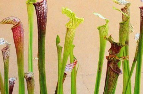 La Sarracénie pour lutter contre le frelon asiatique ?