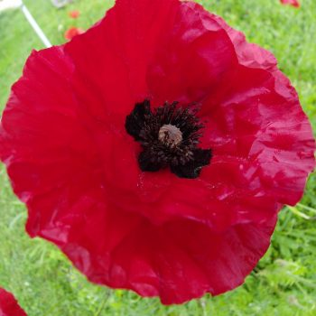 Coquelicot simple rouge